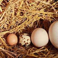 HN: Gà đẻ trứng bé hơn trứng chim cút